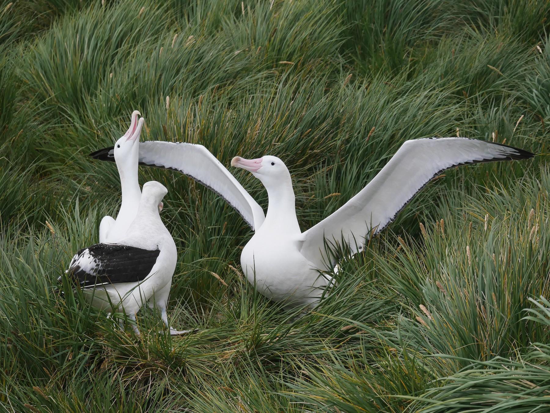 Wandering Albatross - Peter Lowe