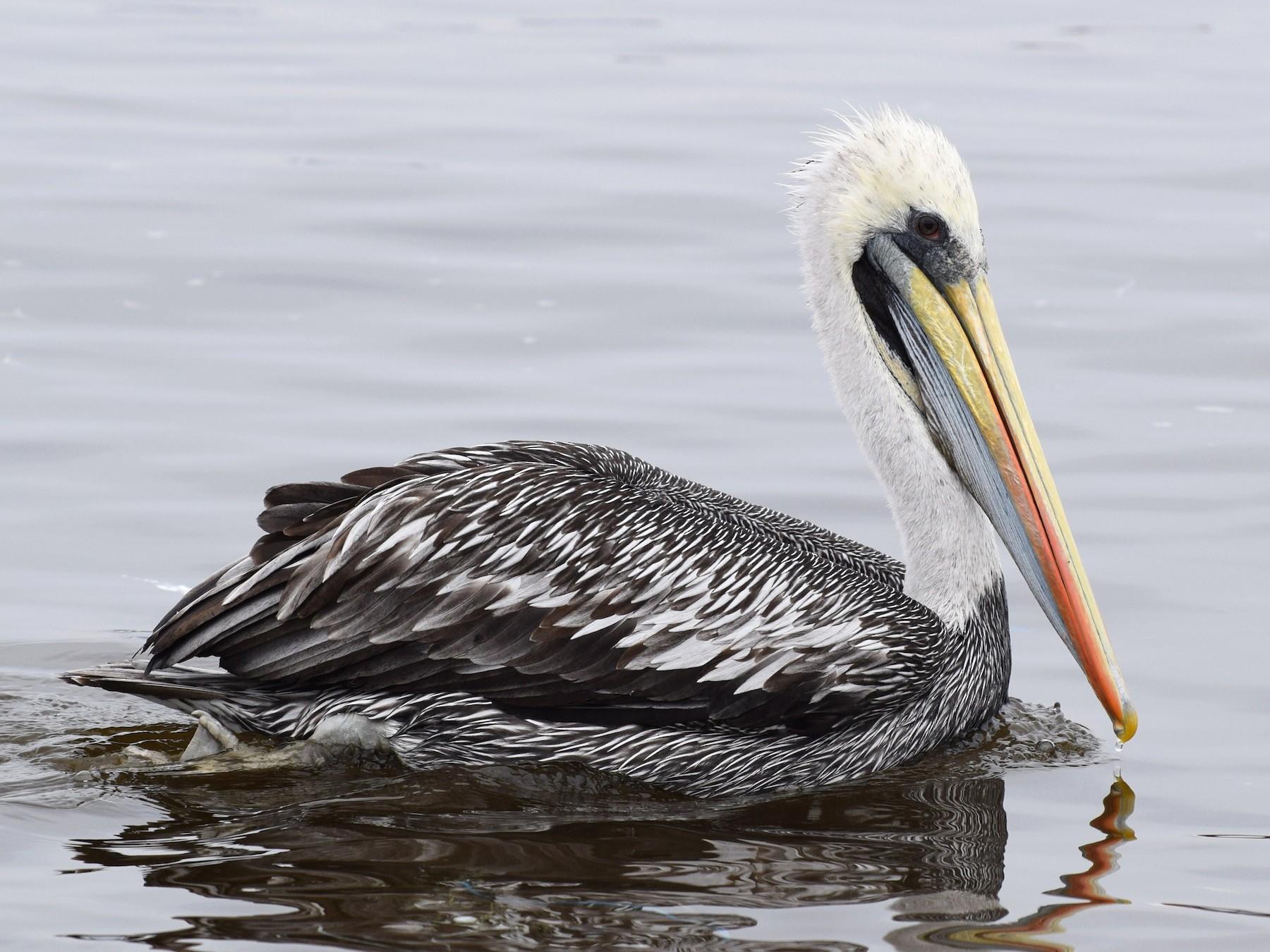 Peruvian Pelican - irina shulgina