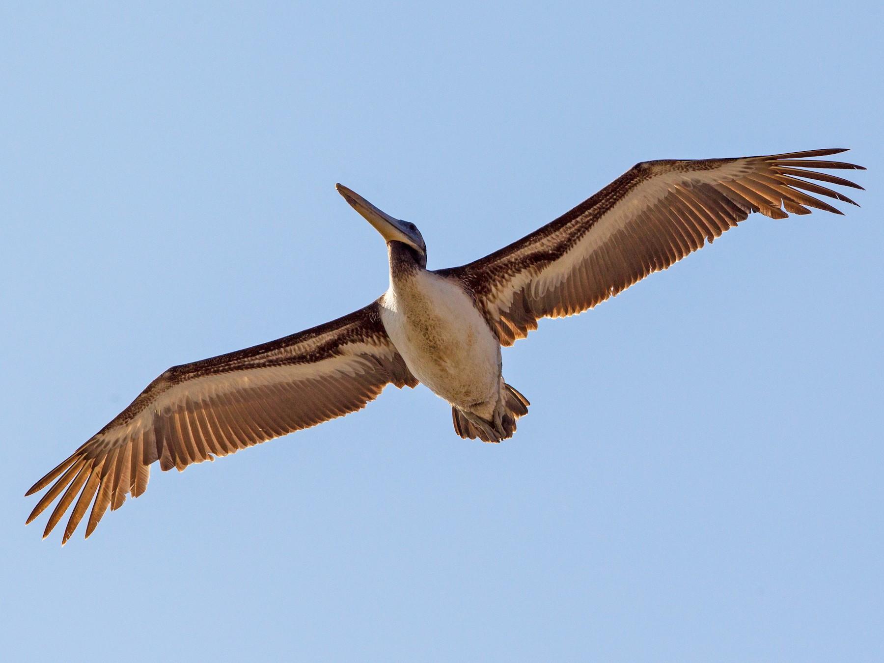 Peruvian Pelican - Kevin Berkoff