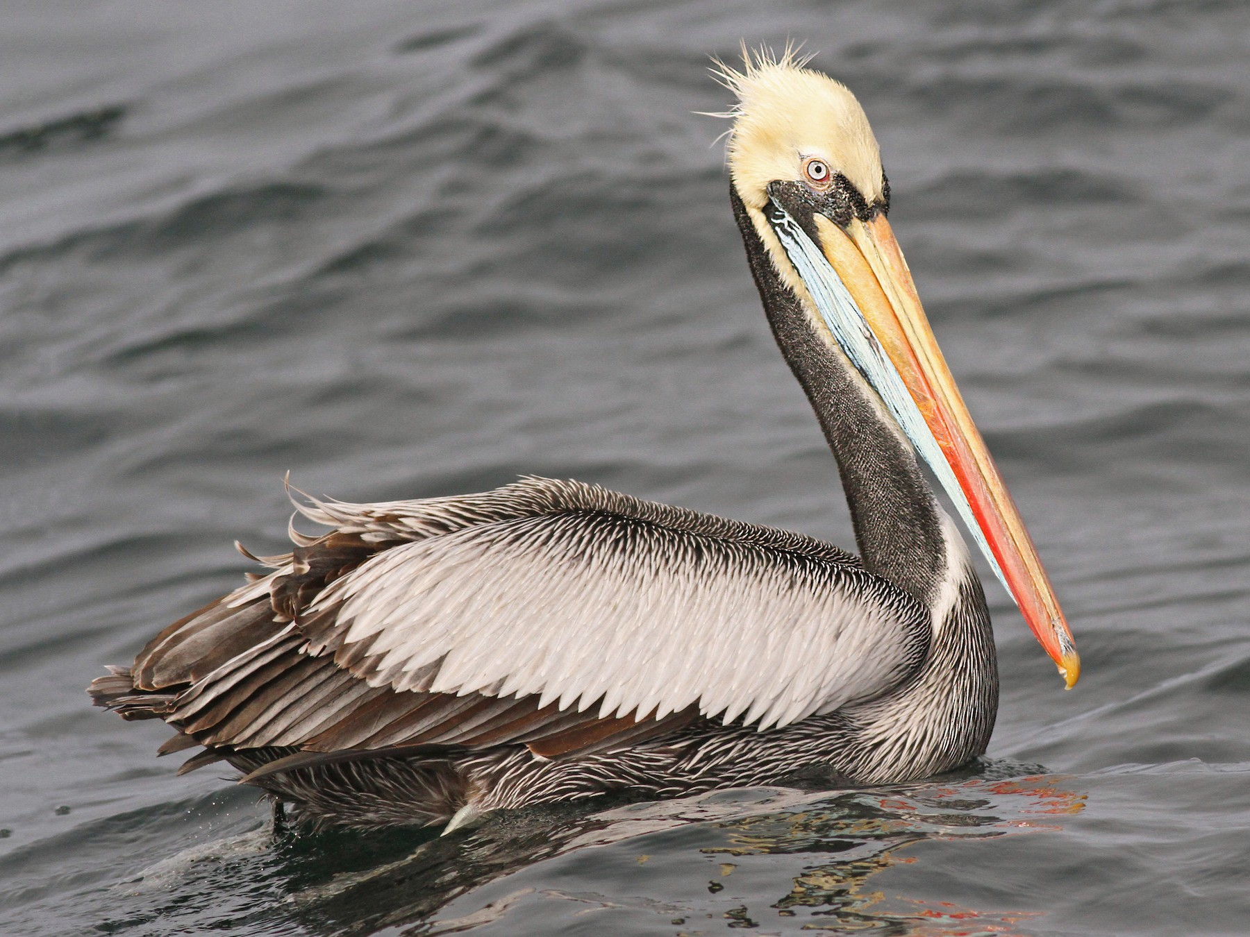 Peruvian Pelican - Luke Seitz