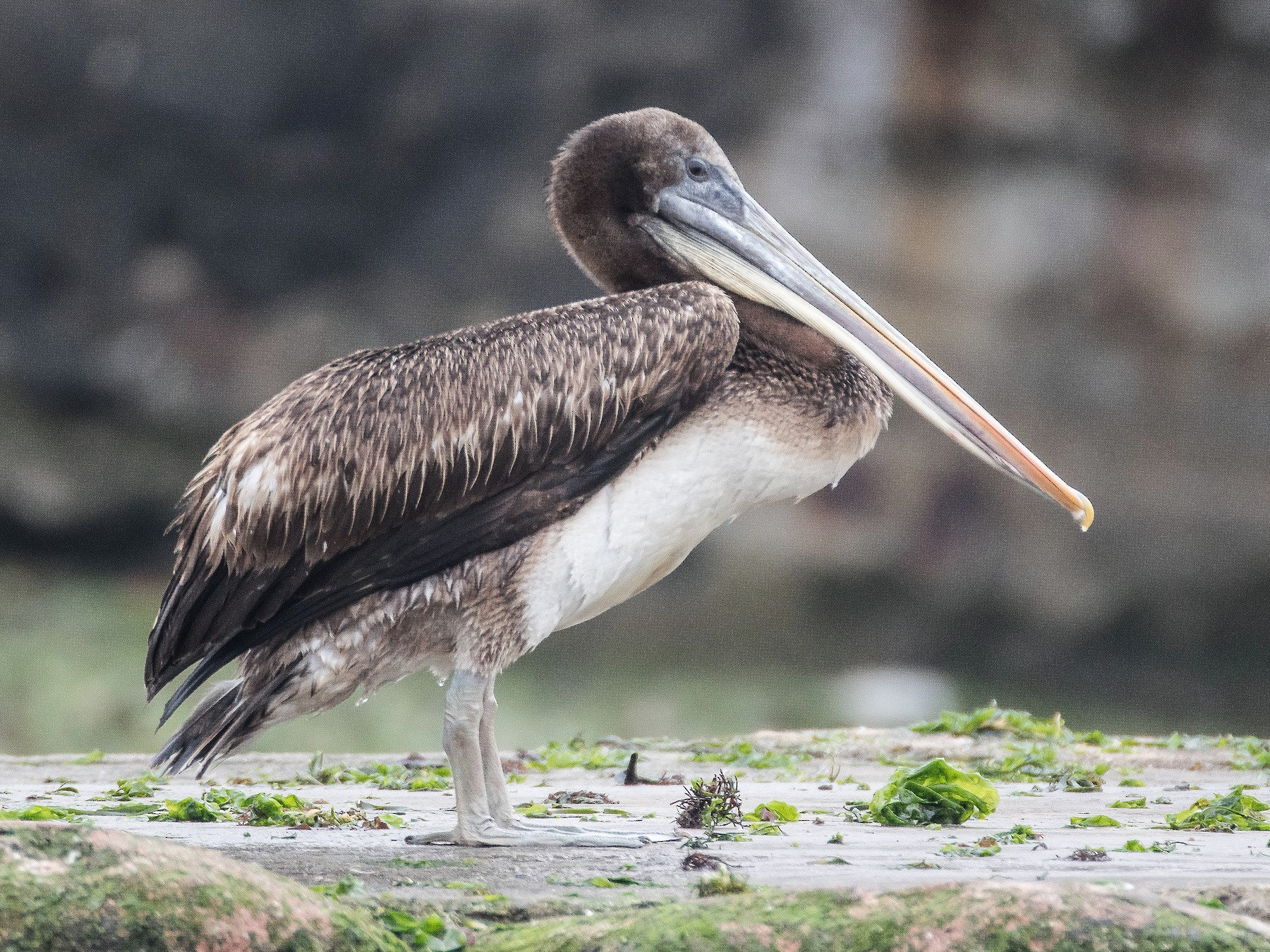 Peruvian Pelican - Blake Matheson