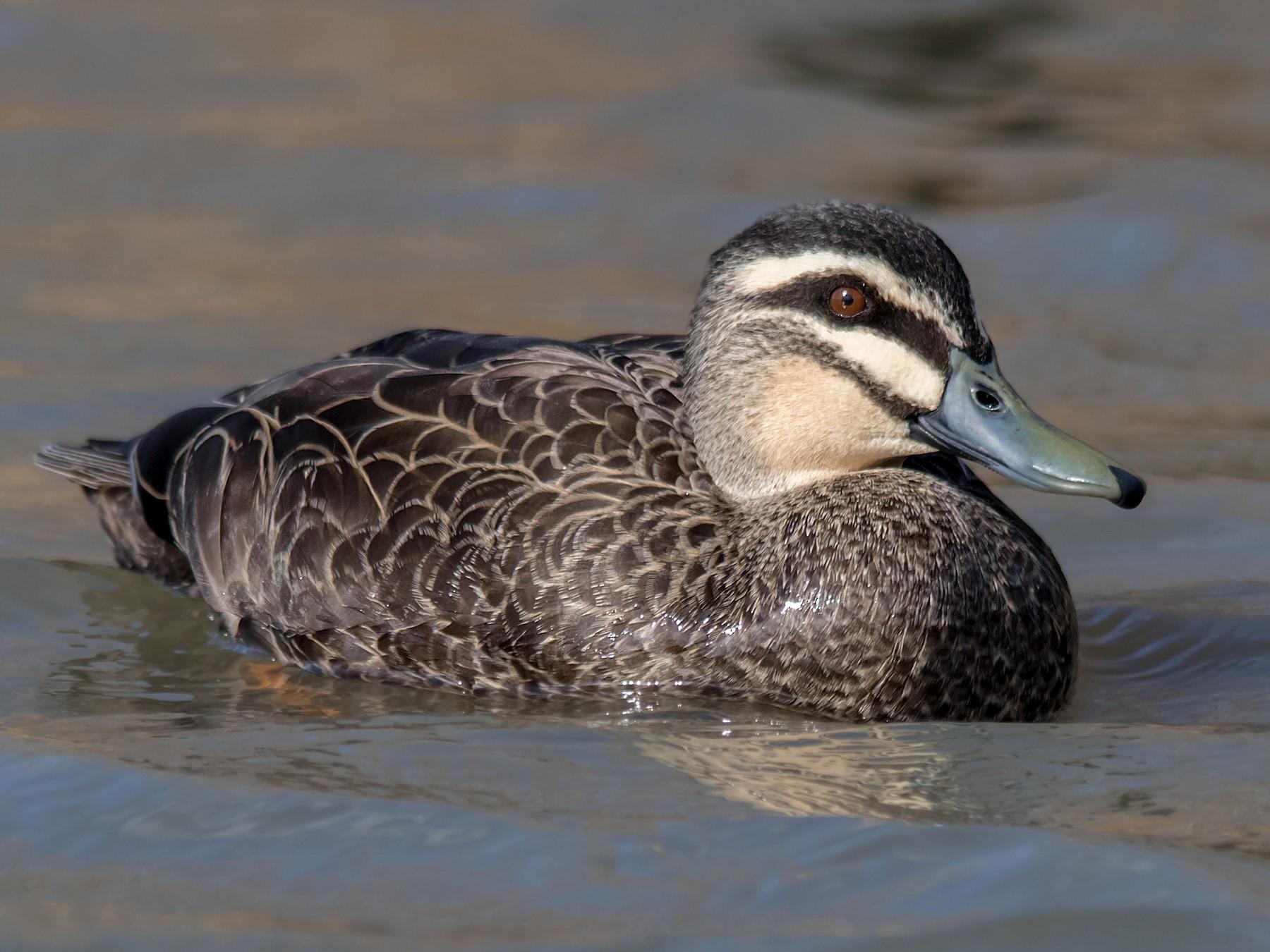 Pacific Black Duck - Andrew Allen