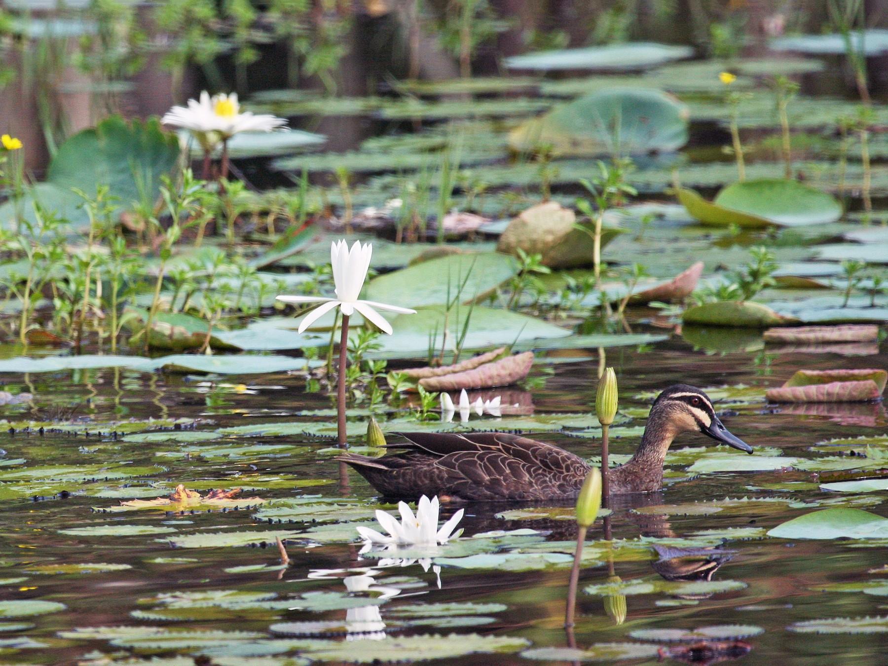 Pacific Black Duck - Tim Lenz