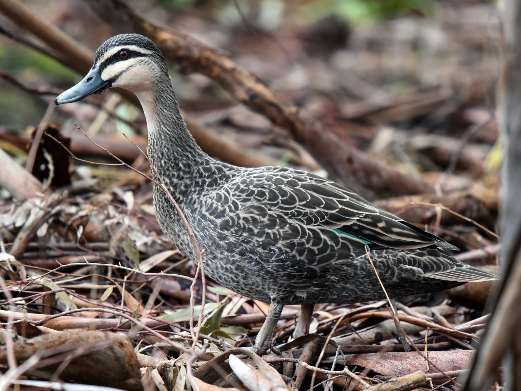 Pacific Black Duck - Bruce Wedderburn