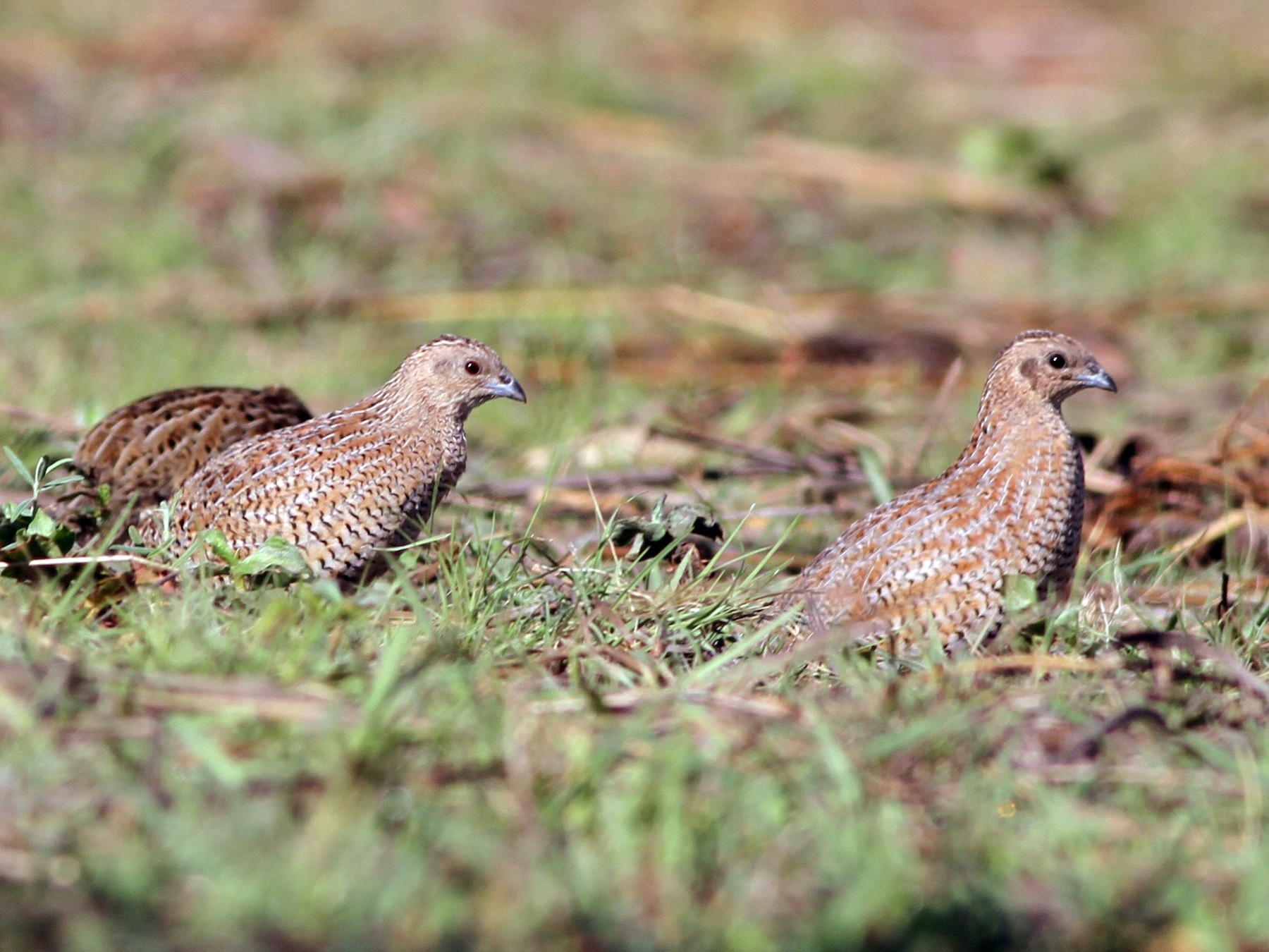 Brown Quail - Chris Wiley