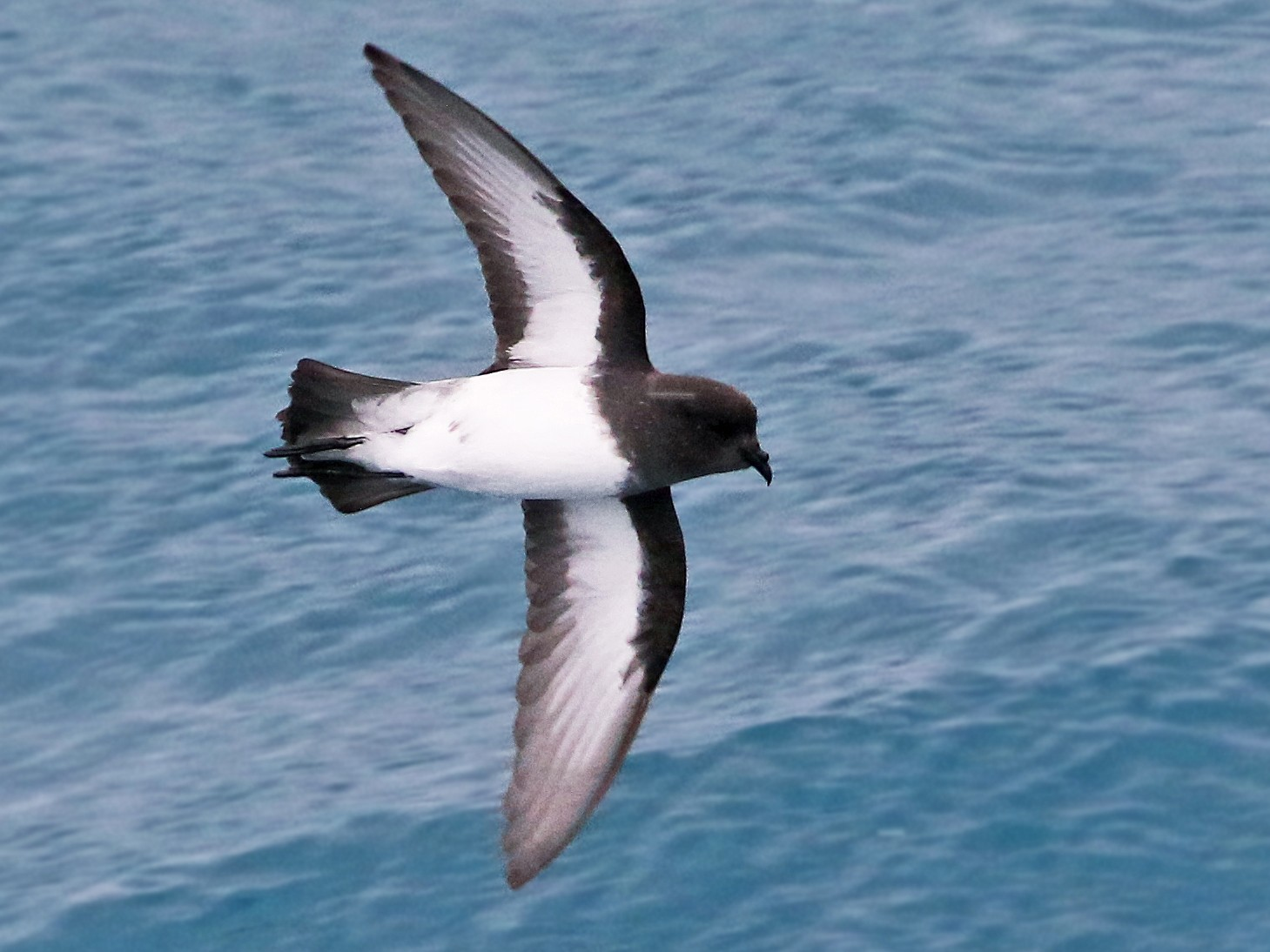 Gray-backed Storm-Petrel - Andrew Spencer