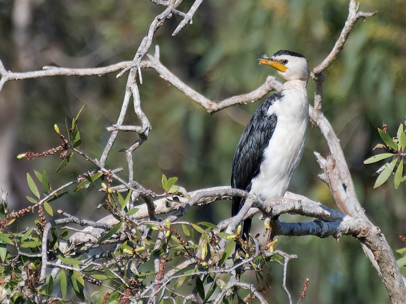 Little Pied Cormorant - Terence Alexander