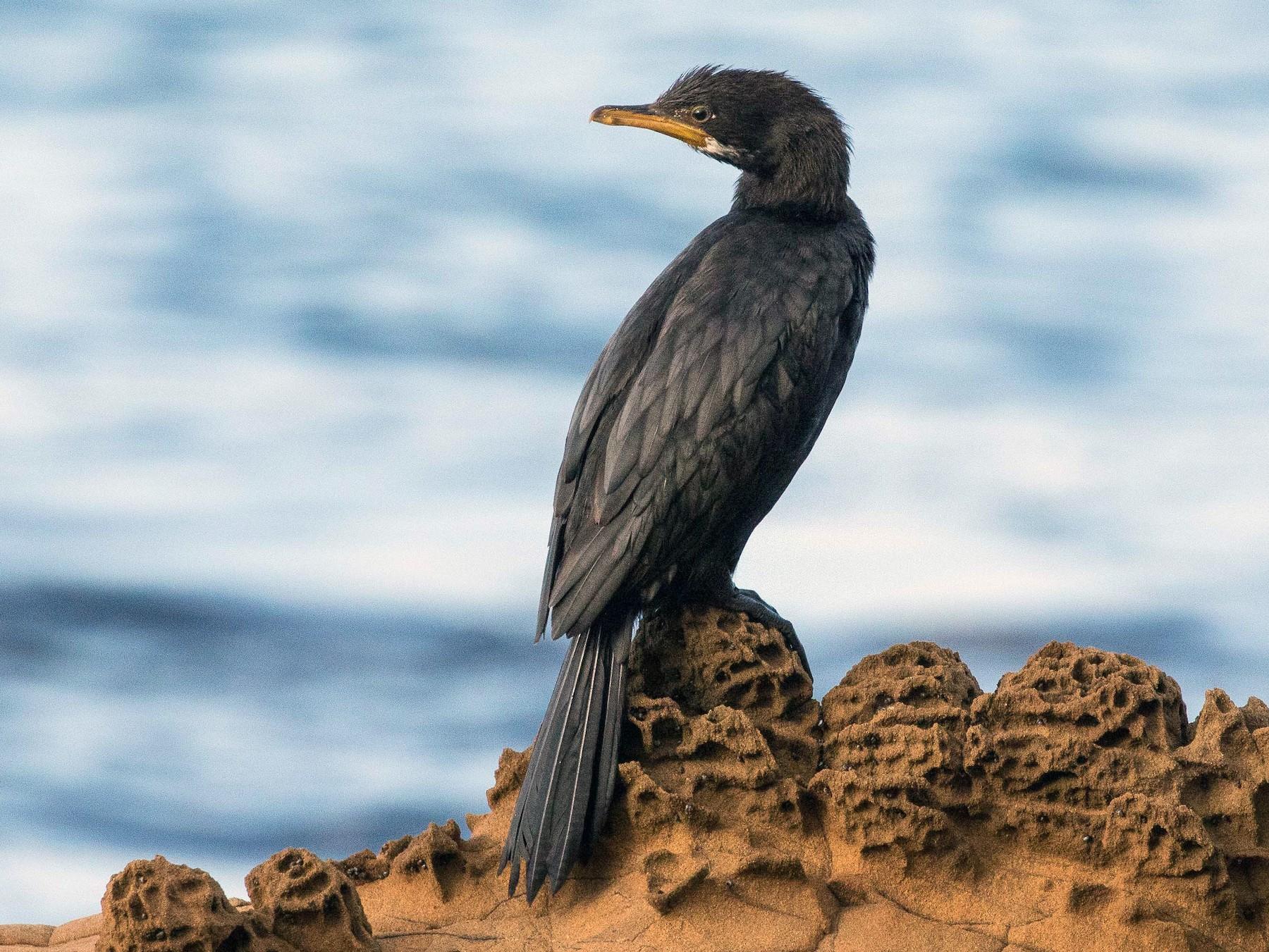 Little Pied Cormorant - Eric VanderWerf