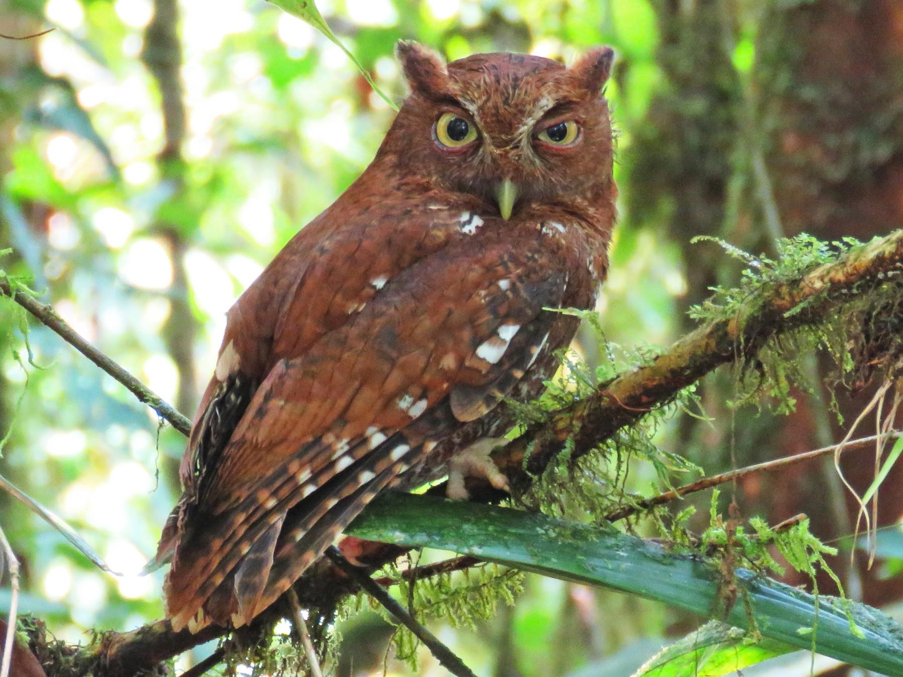 Choco Screech-Owl - Timothy Forrester