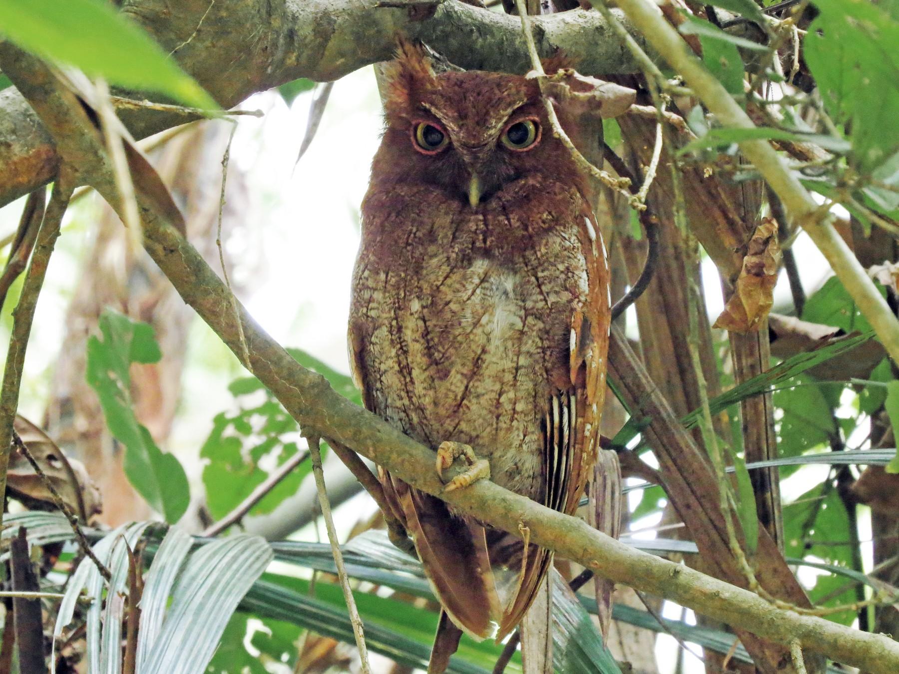 Choco Screech-Owl - John van Dort