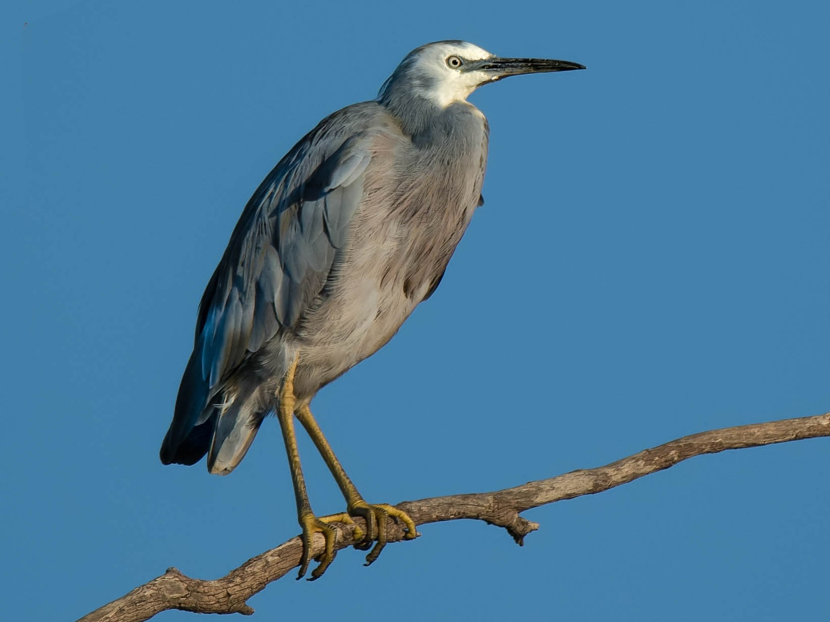 White-faced Heron - Hayley Alexander