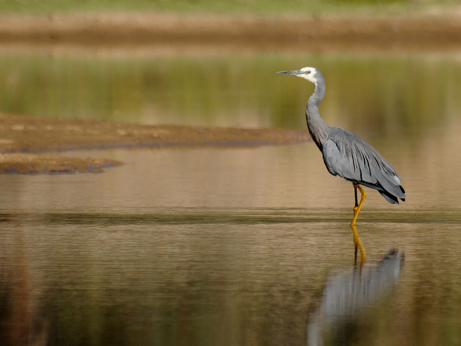 White-faced Heron - Diana Padron