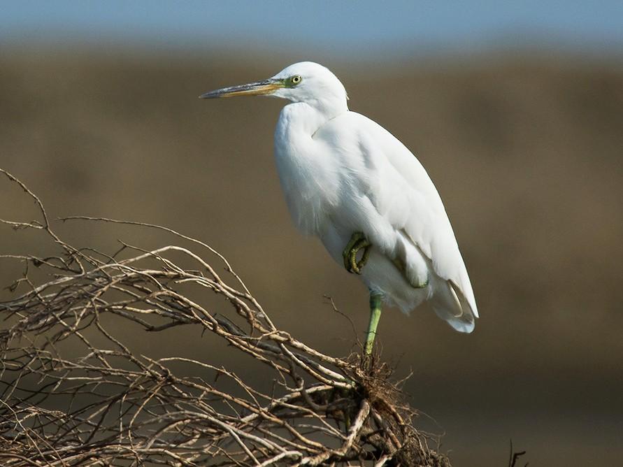 Pacific Reef-Heron - Ayuwat Jearwattanakanok