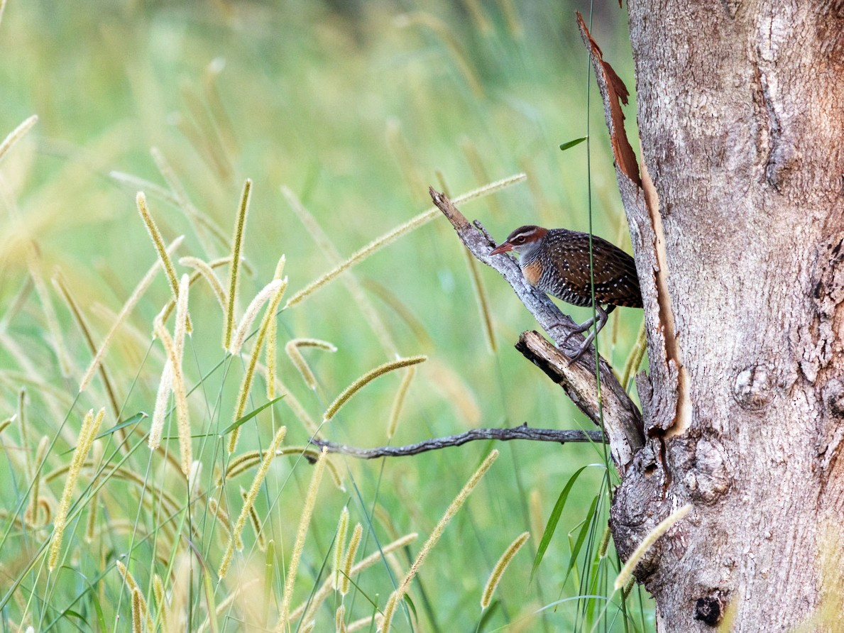 Buff-banded Rail - Malcolm Graham