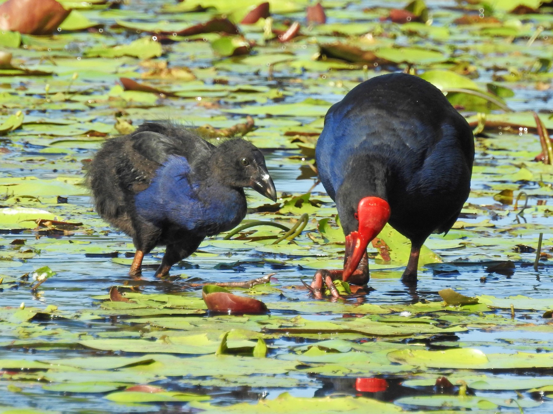 Australasian Swamphen - Michael Daley