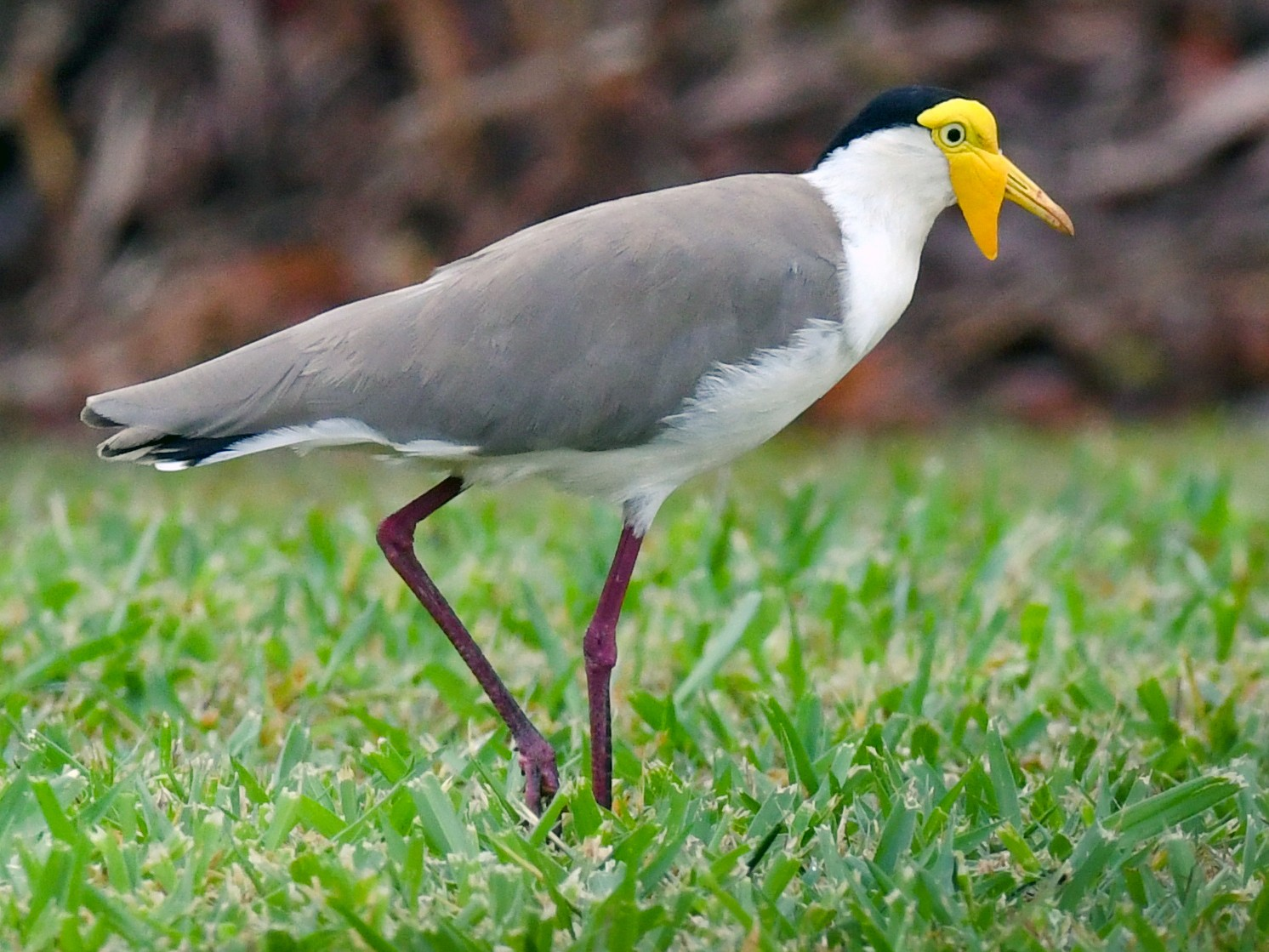 Masked Lapwing - Terence Alexander