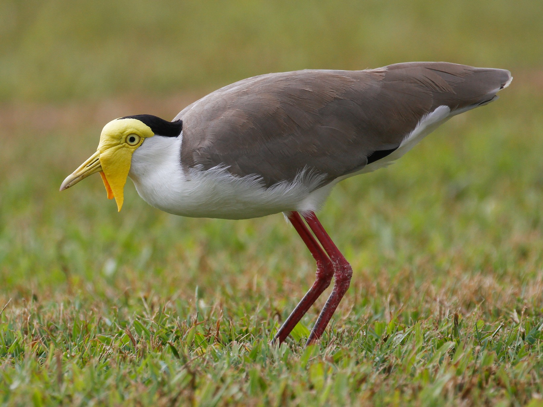 Masked Lapwing - James Kennerley 🦄