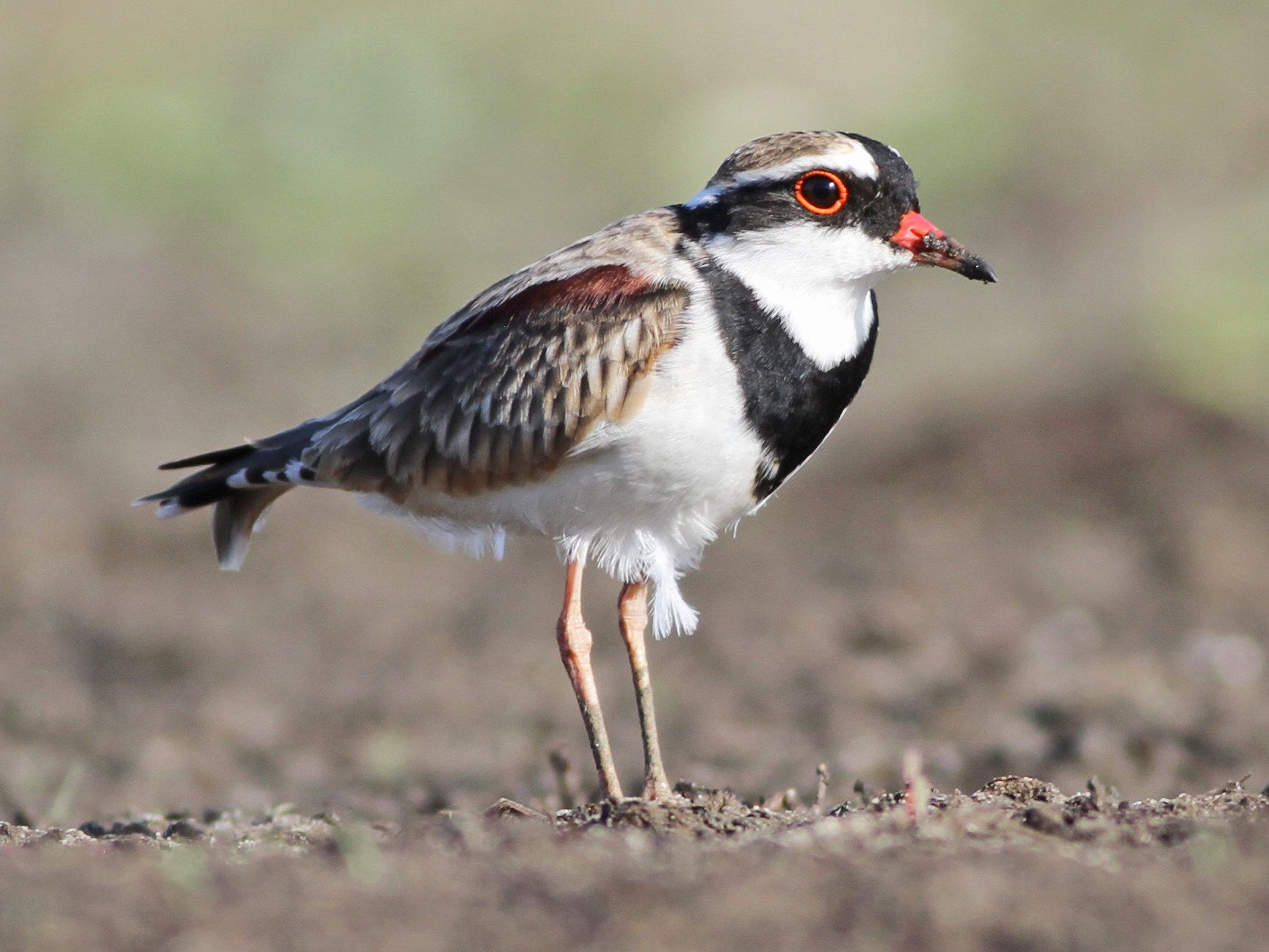 Black-fronted Dotterel - Chris Wiley