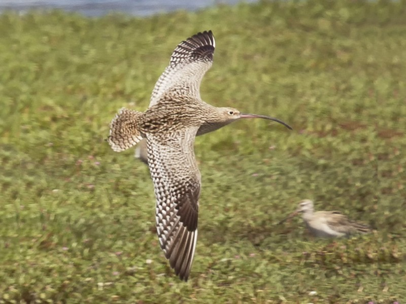 Far Eastern Curlew - Mat Gilfedder