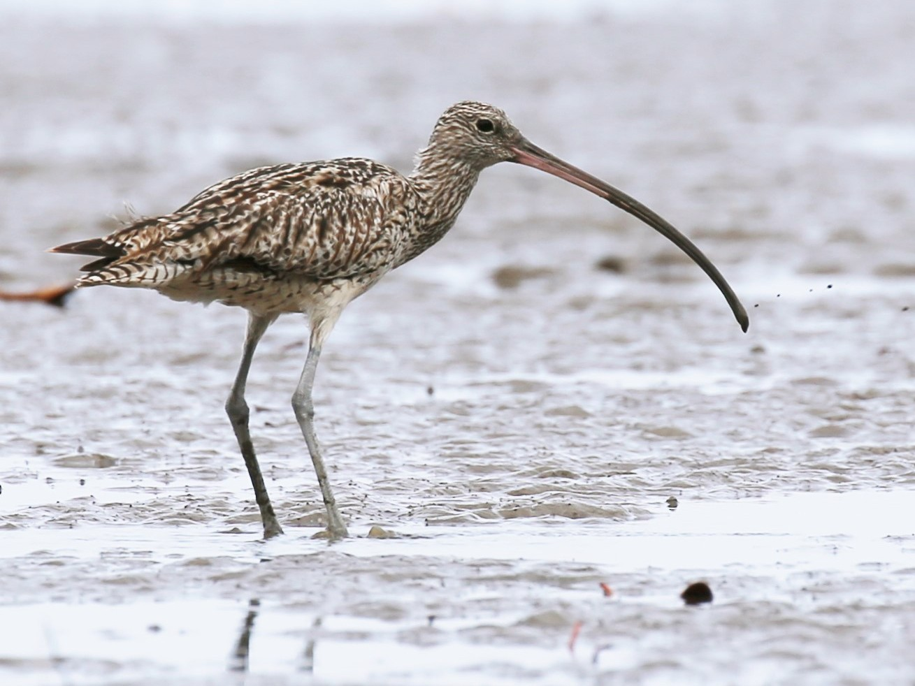 Far Eastern Curlew - Jafet Potenzo Lopes