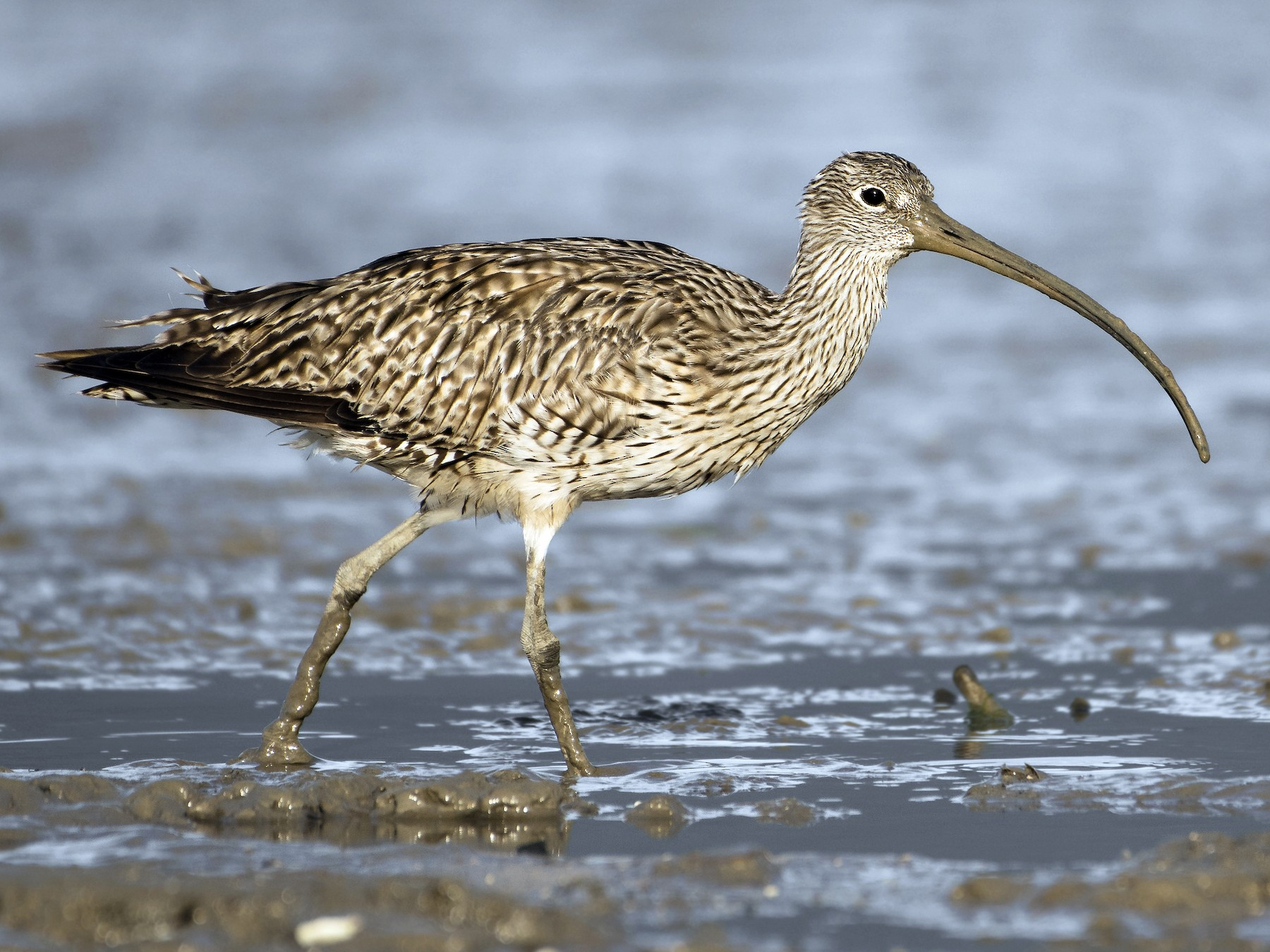 Far Eastern Curlew - Lucas Brook
