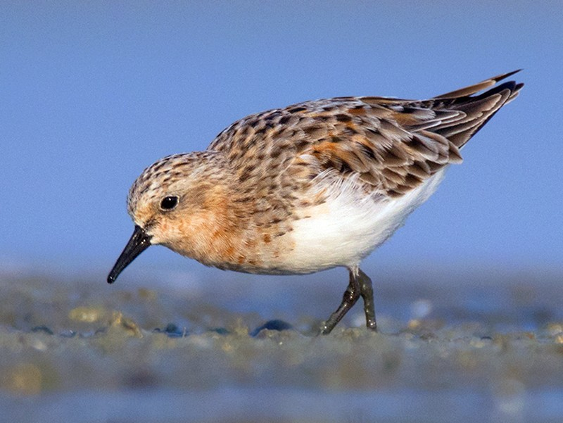 Red-necked Stint - Ayuwat Jearwattanakanok