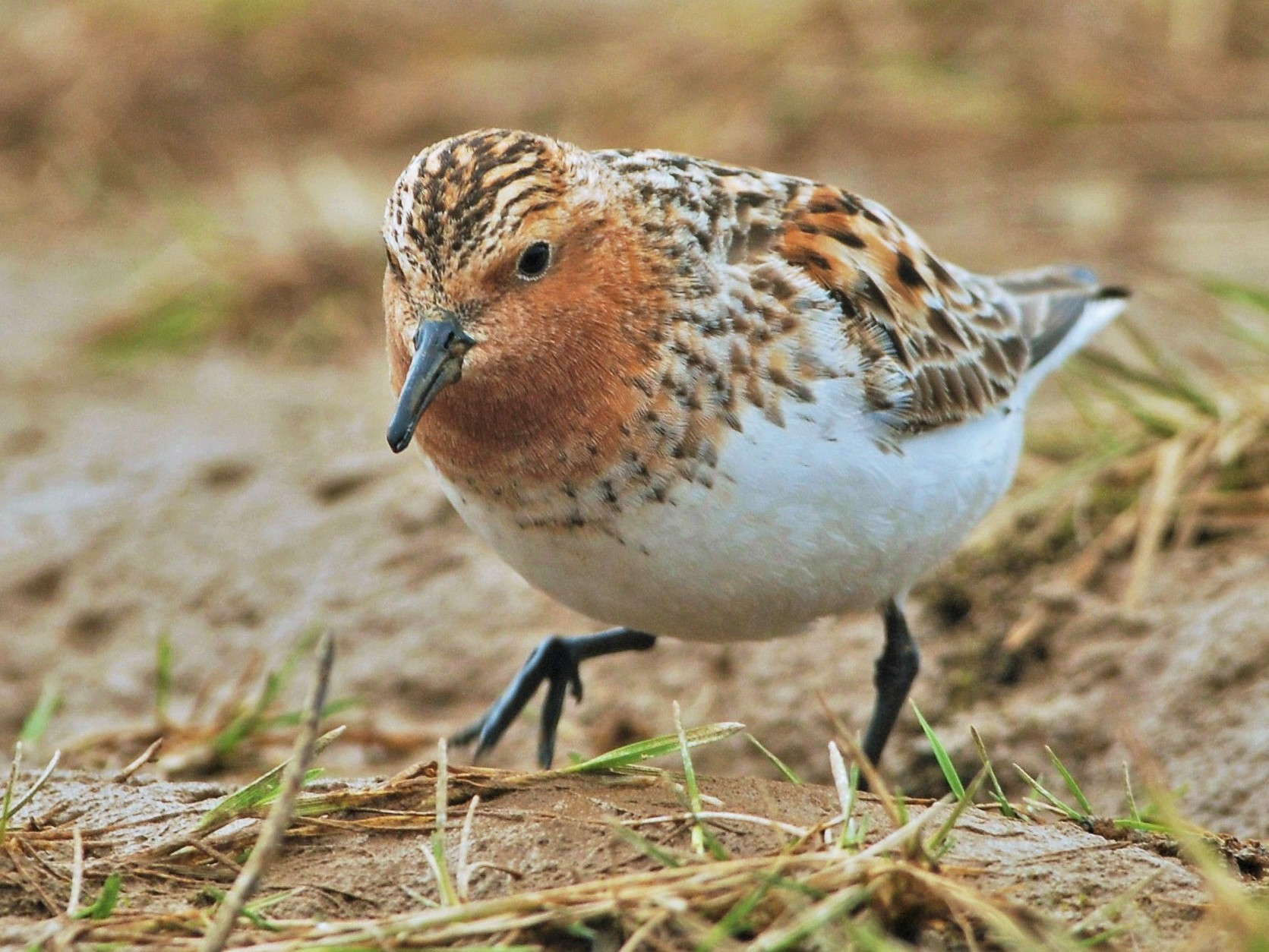 Red-necked Stint - David Hollie