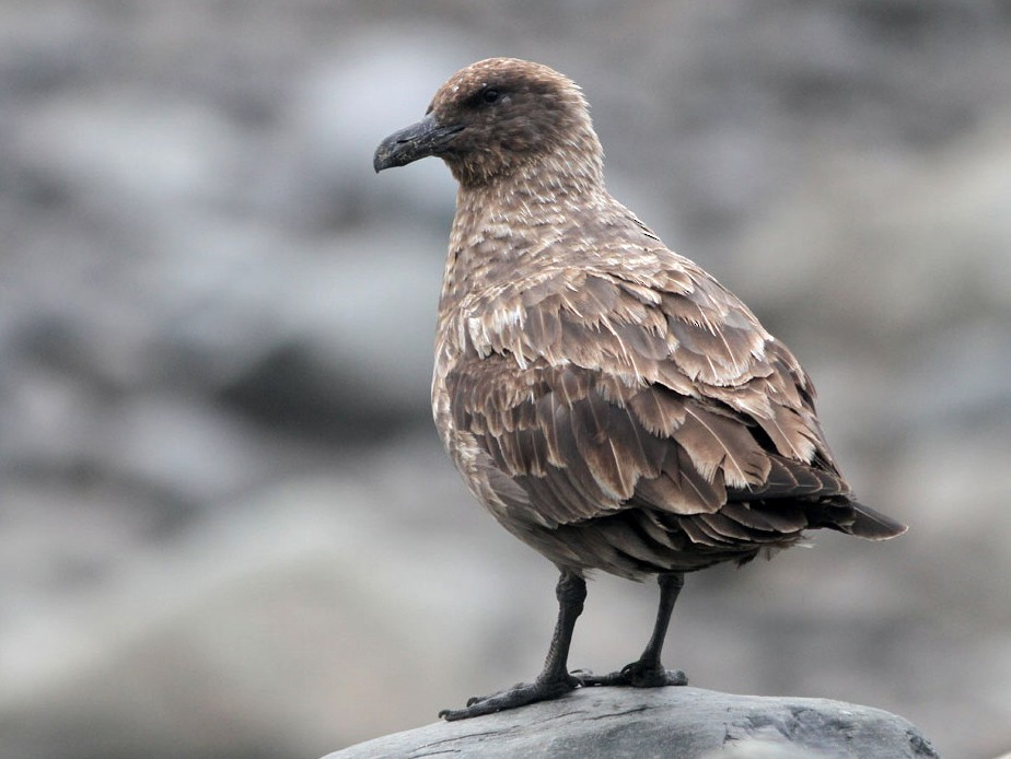 Brown Skua - Noah Strycker