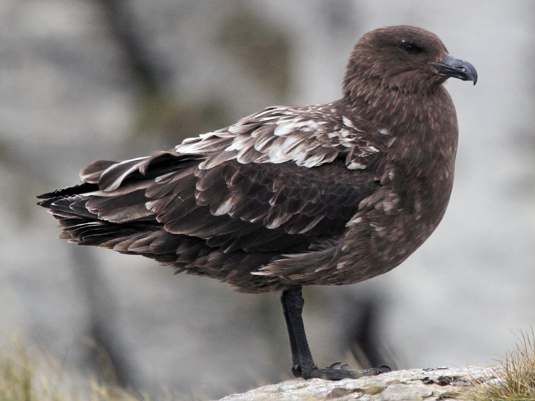 Brown Skua - Stephen Gast