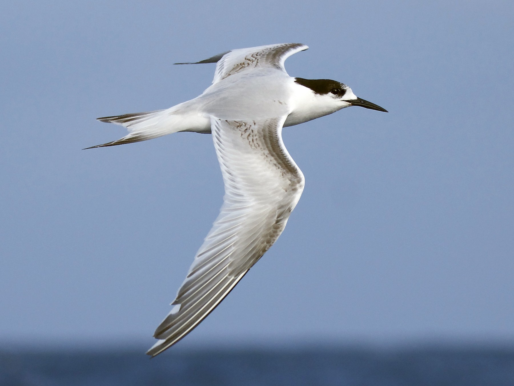 White-fronted Tern - Peter Vaughan