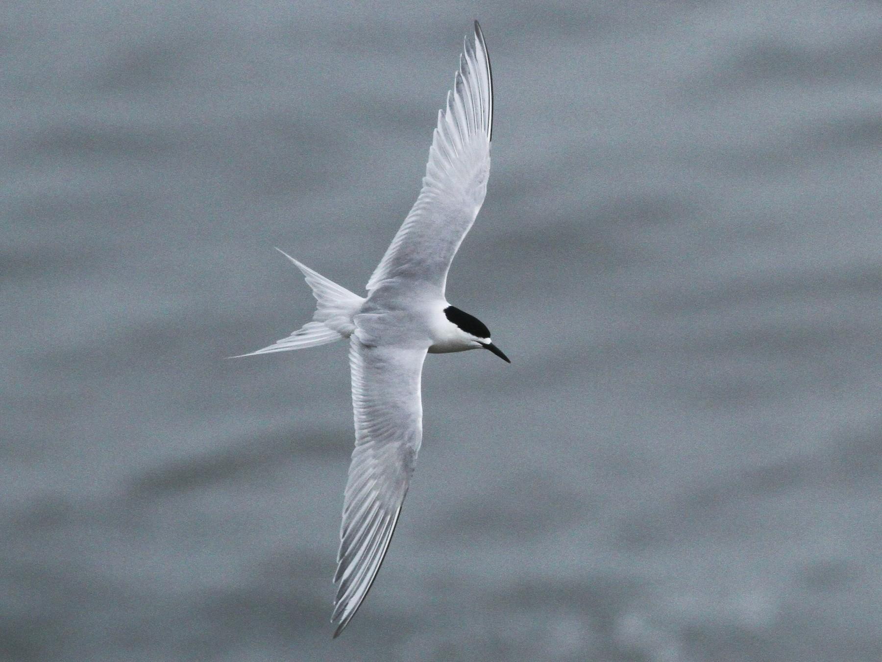 White-fronted Tern - Evan Lipton
