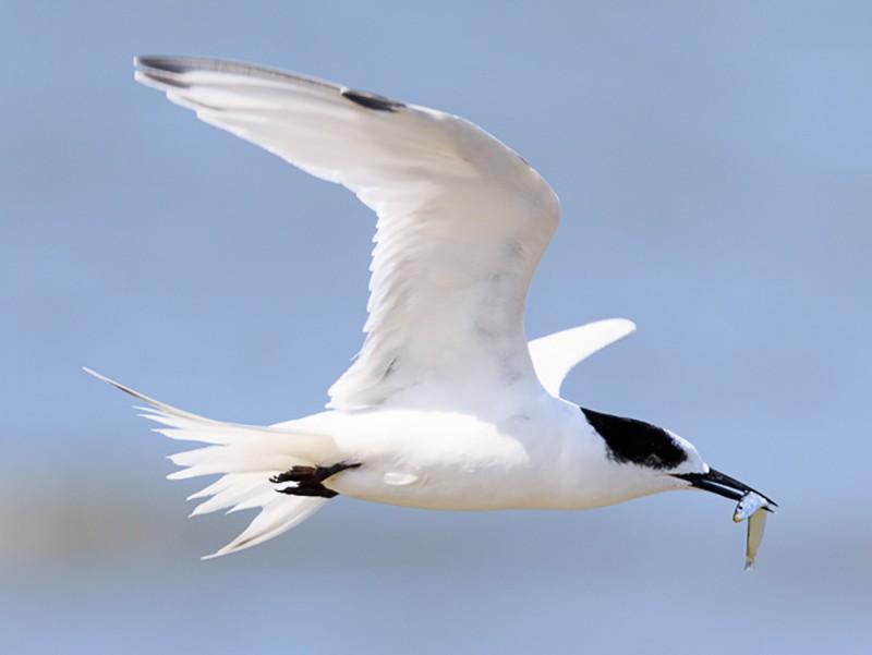 White-fronted Tern - Imogen Warren