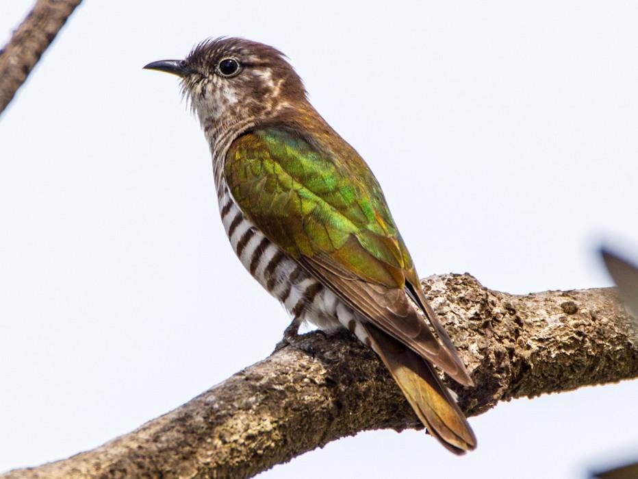 Shining Bronze-Cuckoo - Philip Dubbin