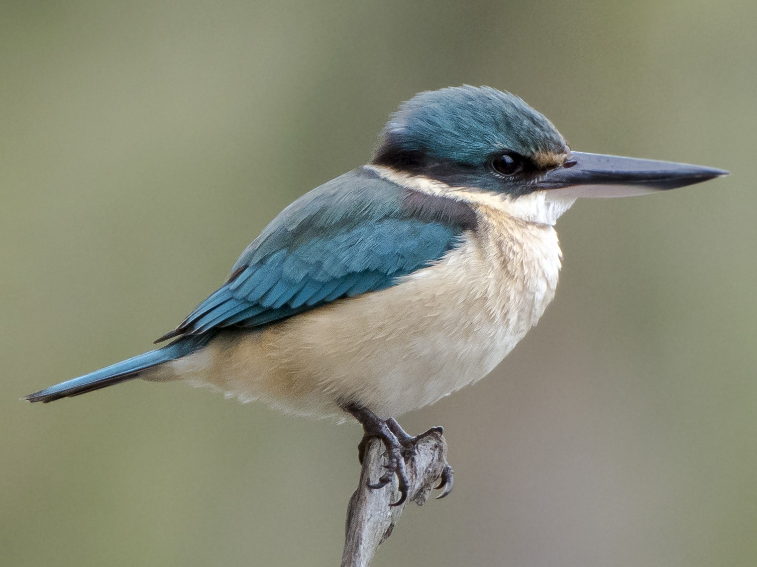 Sacred Kingfisher - Lucas Brook