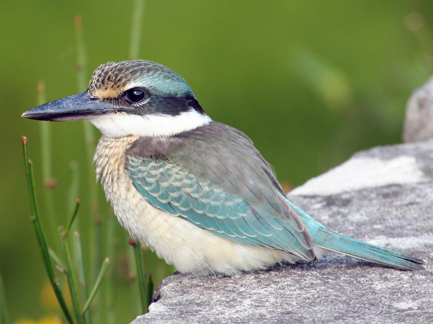 Sacred Kingfisher - Ray Turnbull