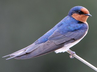 - Welcome Swallow