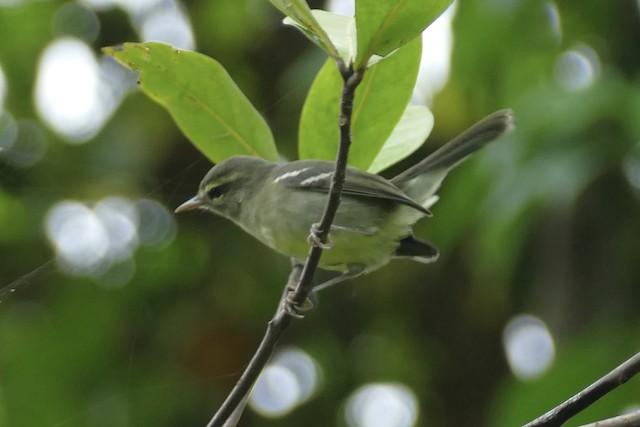 Plumbeous Warbler