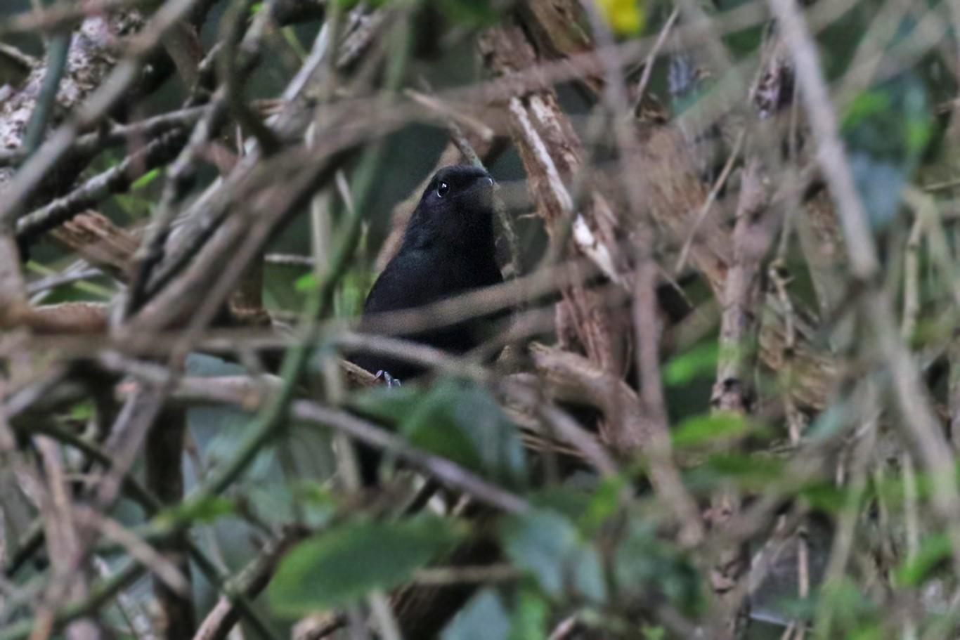 Fülleborn's Boubou - Charley Hesse TROPICAL BIRDING