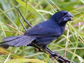 - Blue-black Grosbeak