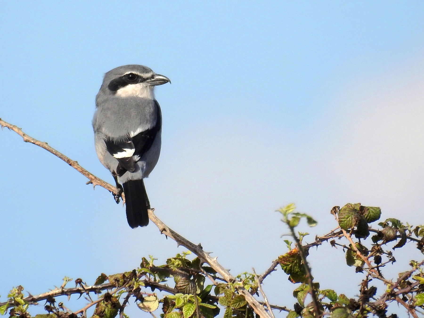 Iberian Gray Shrike - Daniel Raposo