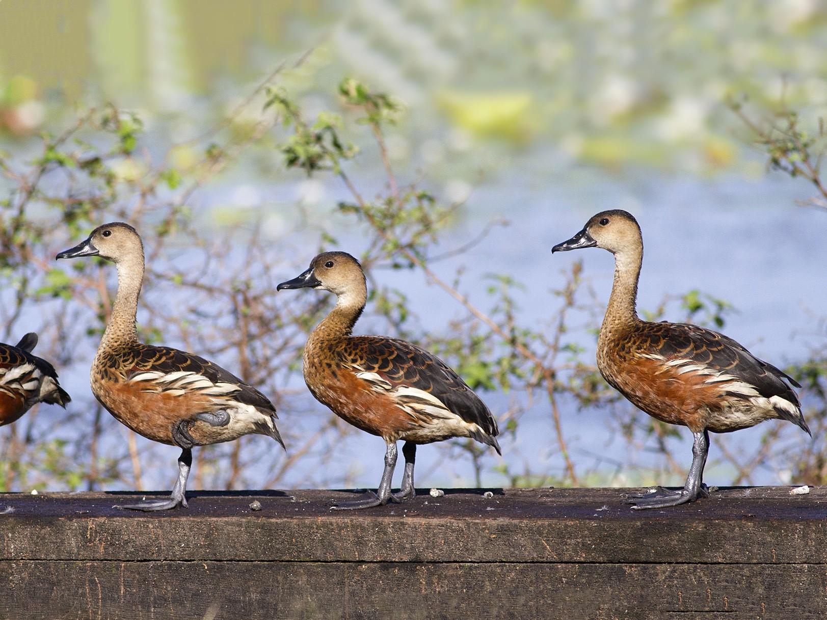 Wandering Whistling-Duck - Stephen Murray