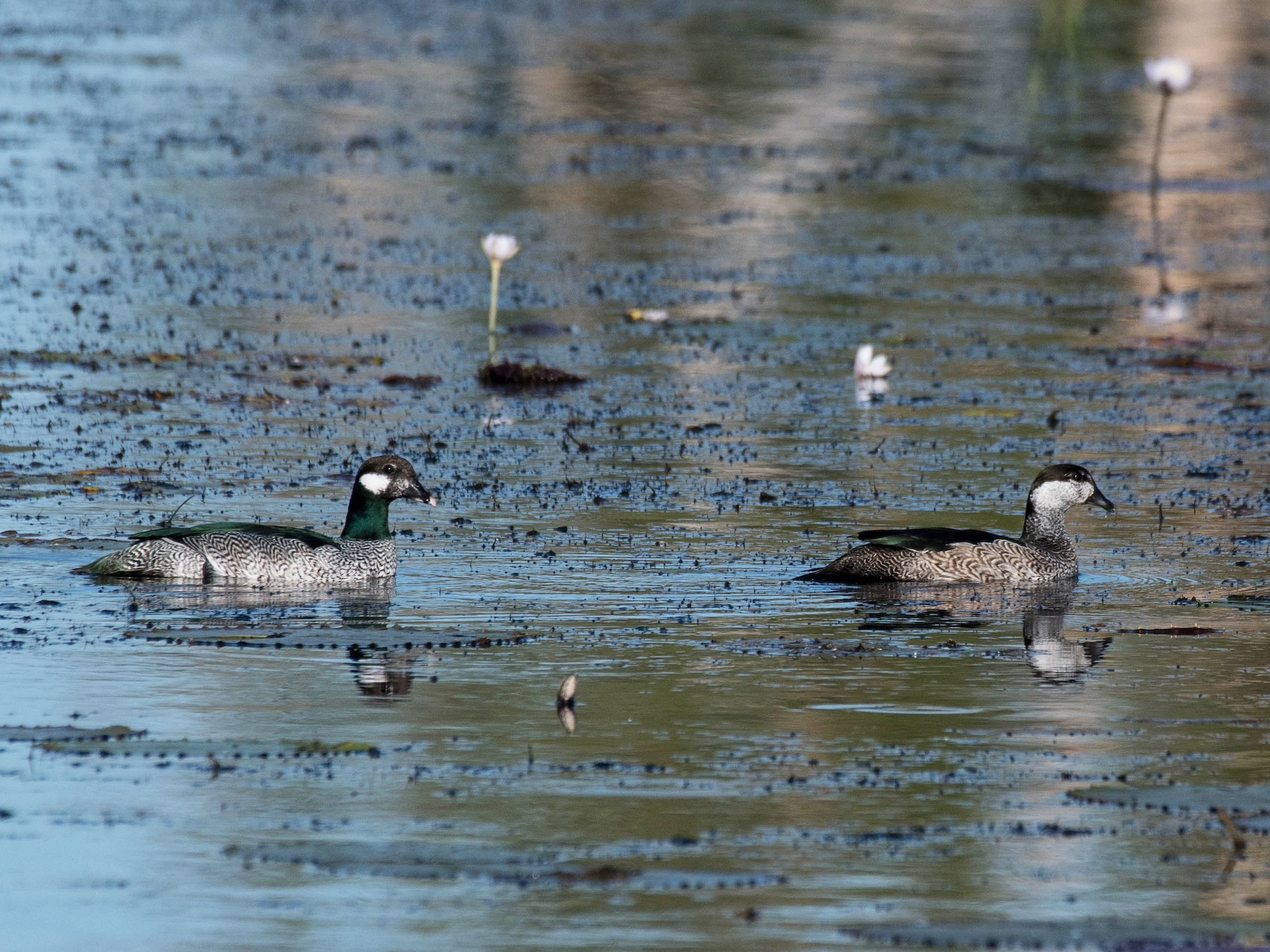 Green Pygmy-Goose - Terence Alexander