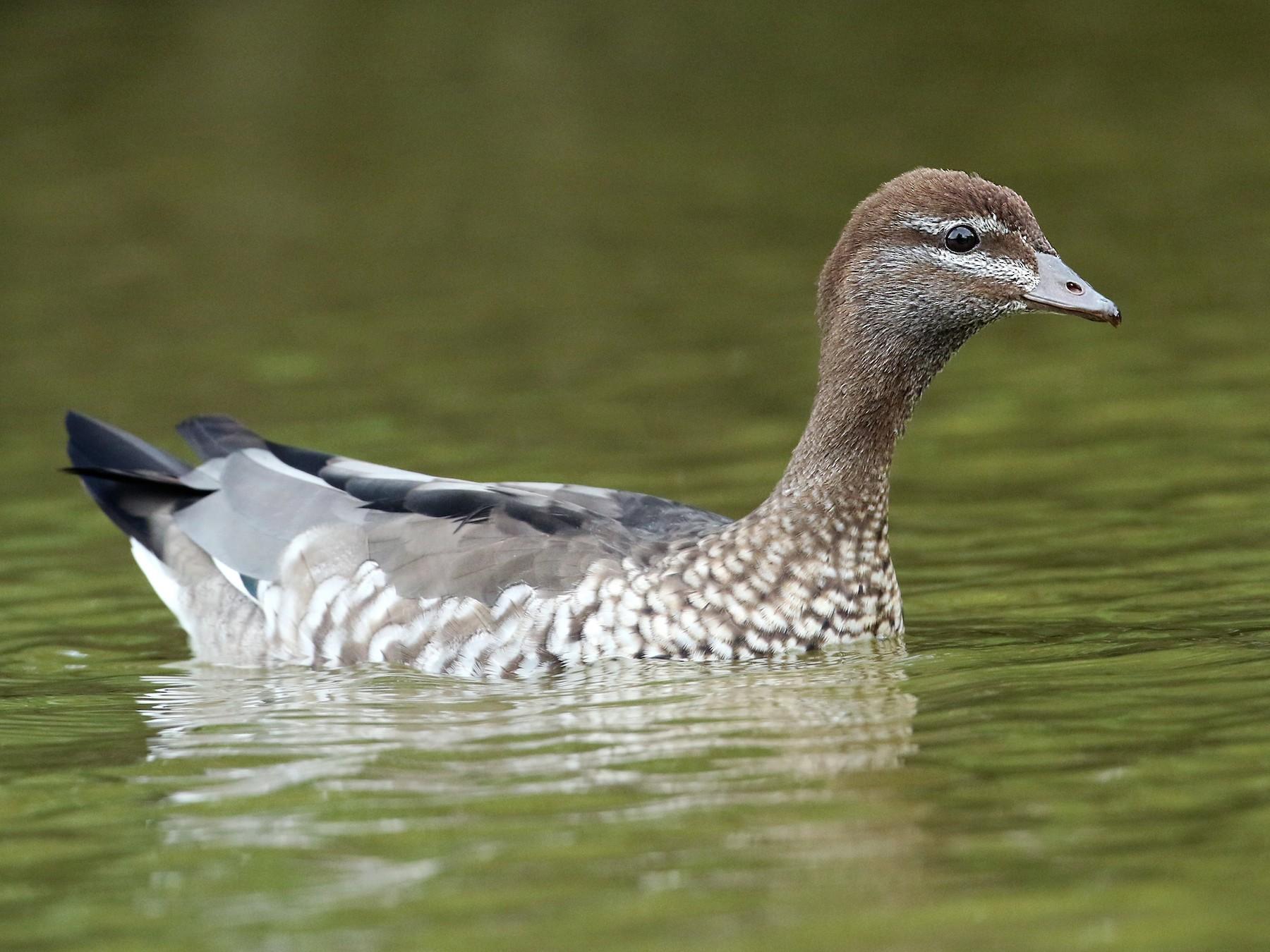 Maned Duck - Luke Seitz