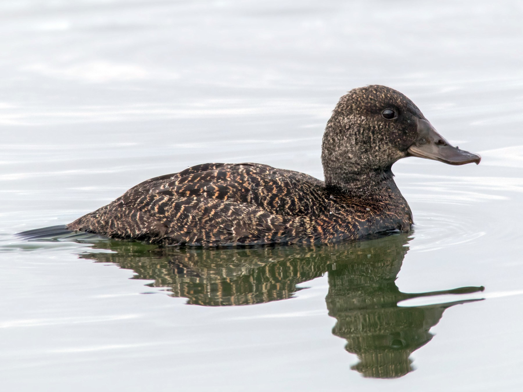 Blue-billed Duck - Andrew Allen