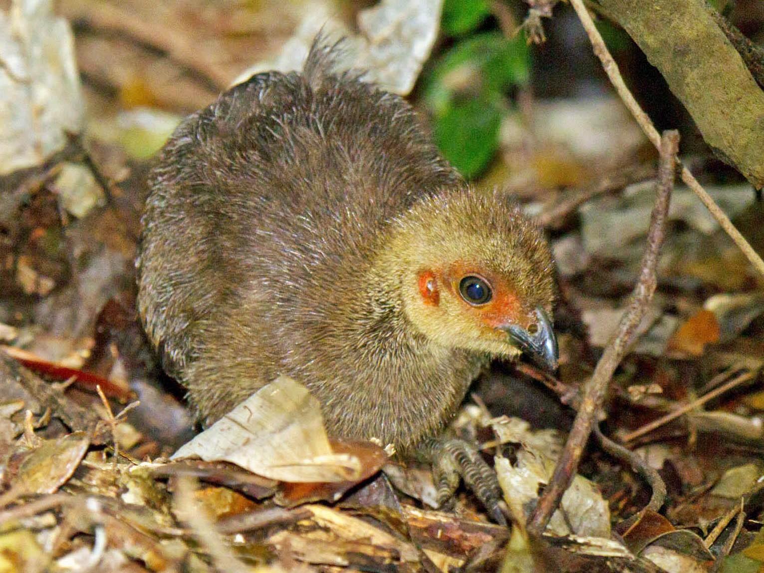 Australian Brushturkey - Illawarra Birders Inc