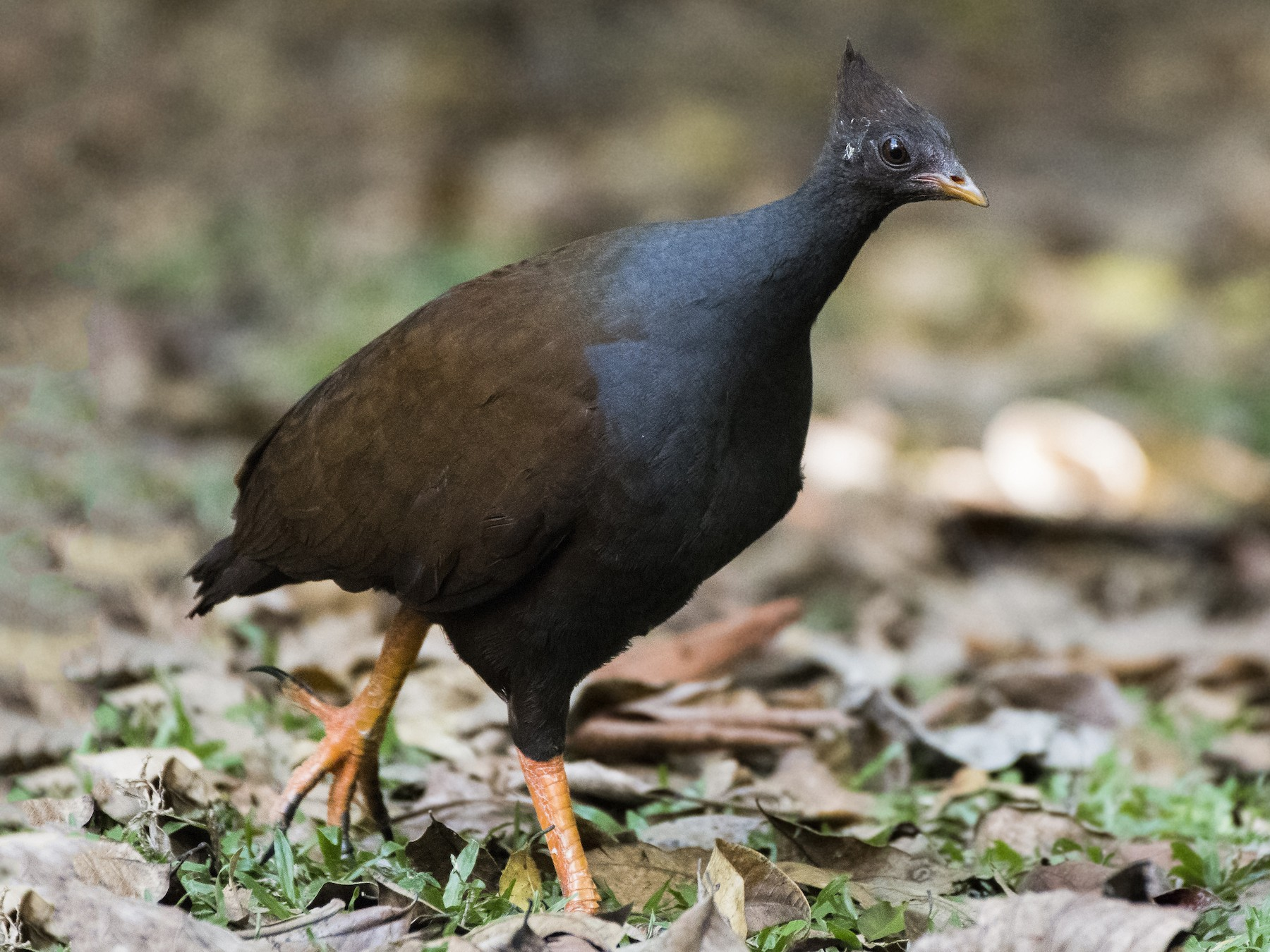 Orange-footed Scrubfowl - Lucas Brook
