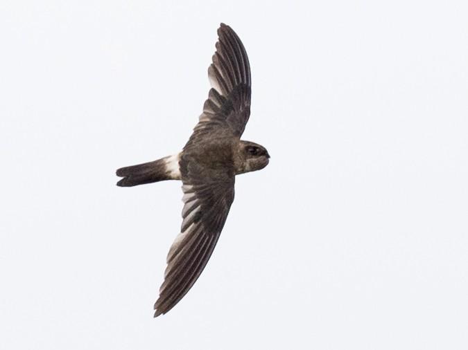 Australian Swiftlet - Ian Davies