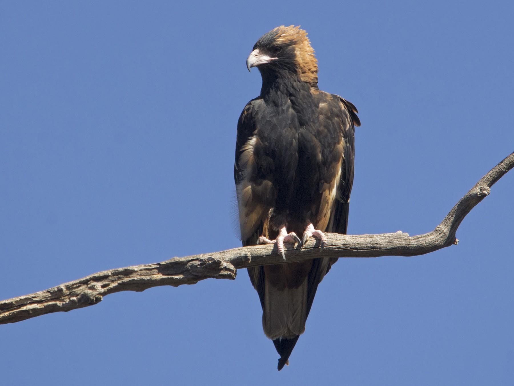Black-breasted Kite - Owen Lishmund