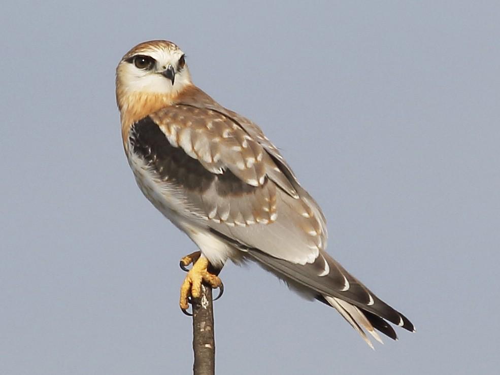 Black-shouldered Kite - Michael Rutkowski