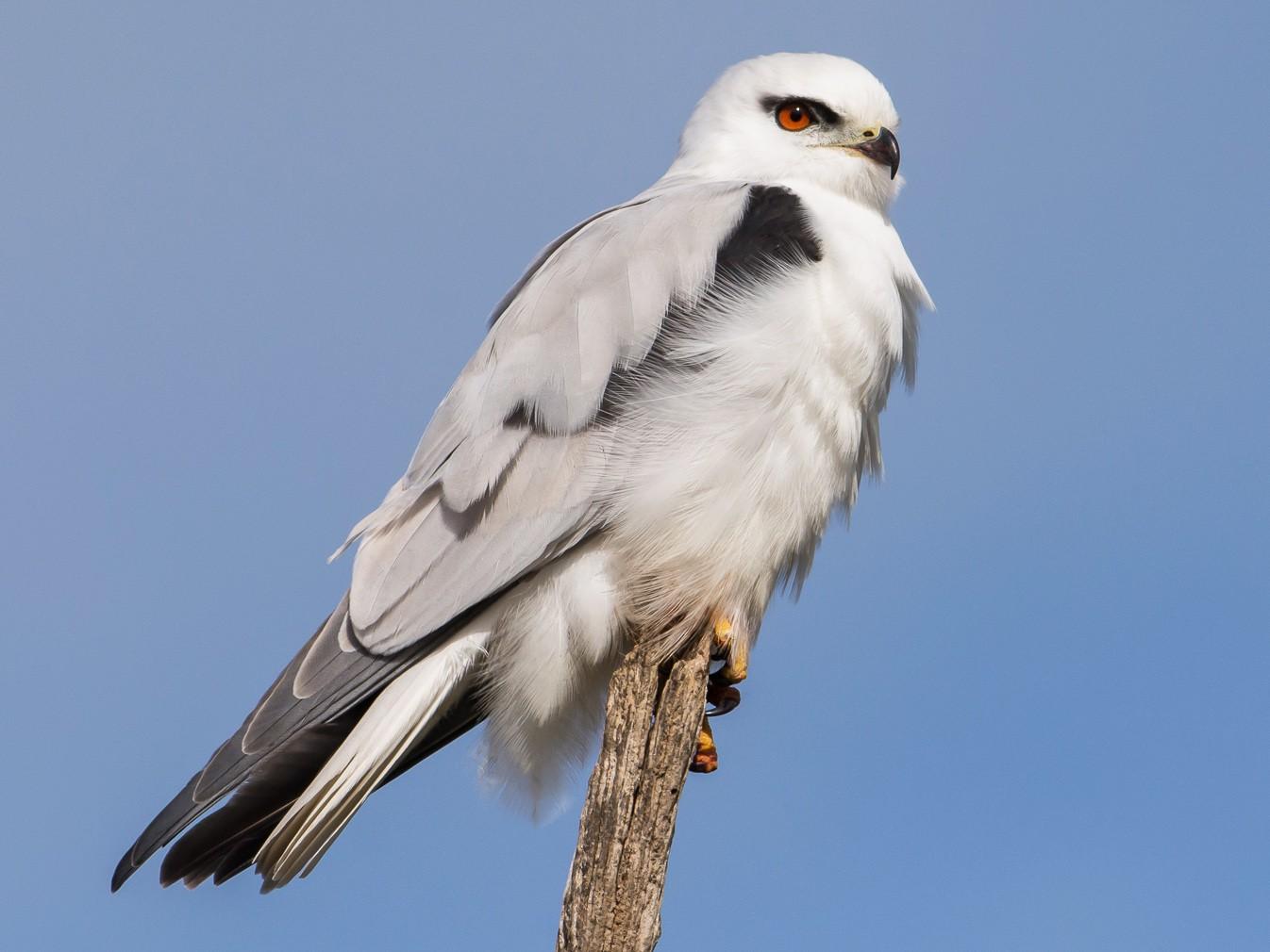 Black-shouldered Kite - John  Van Doorn